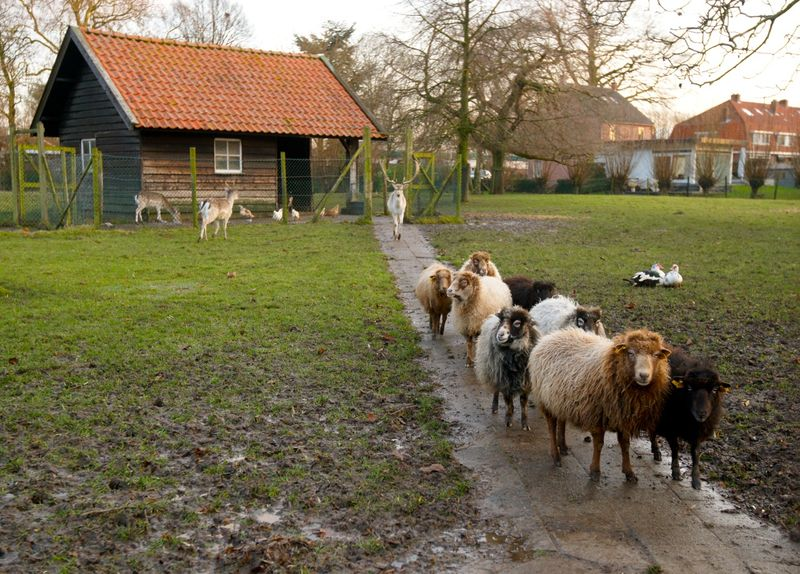 Sheepagain