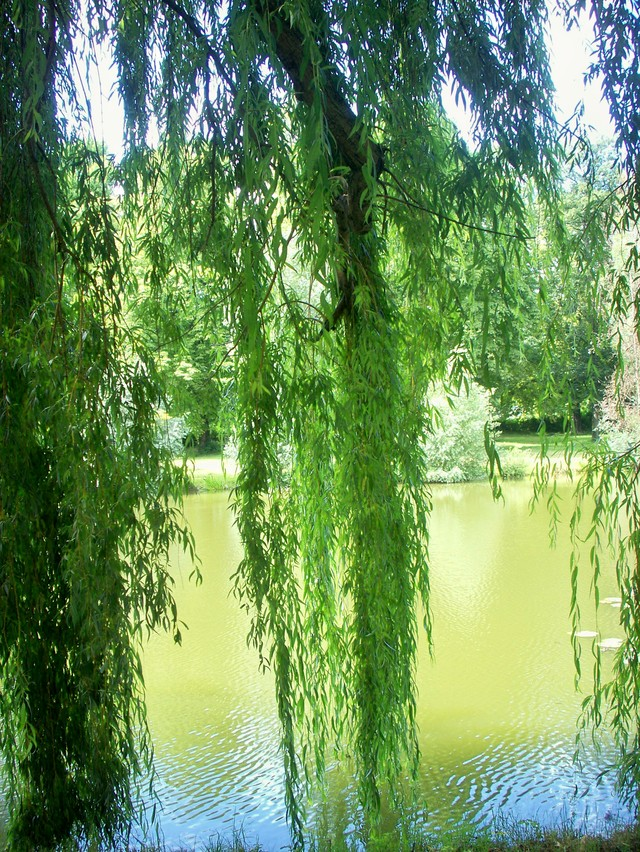 This weeping willow offers