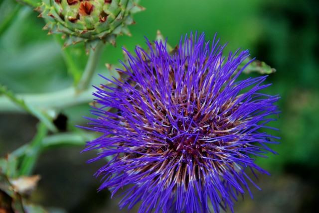 """What country adopted the Scottish thistle as an emblem?"" ."
