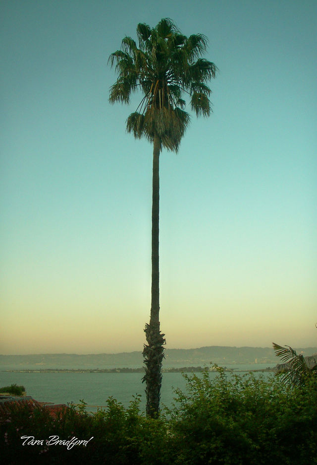 Tall_palm_overlooking_sf_bay
